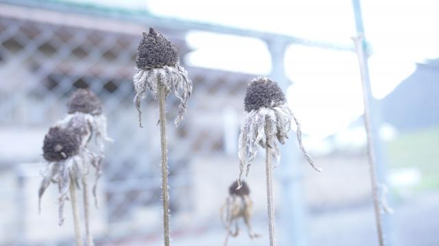 枯れた植物