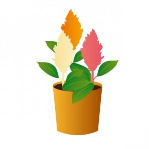 ケイトウ 鉢 植物