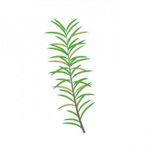 ローズマリー 植物
