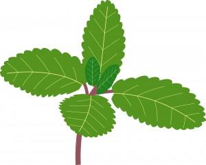 ミント 植物
