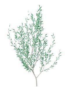 オリーブ 植物