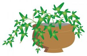 アイビー 鉢 植物